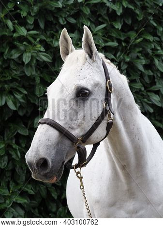 A Head Shot Of A Grey Thoroughbred Horse In A Head Collar