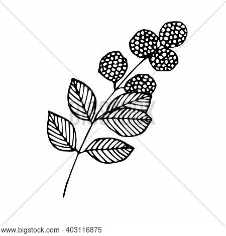 Blackberry On Twig Vector Illustration Hand Drawing Sketch