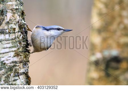 Eurasian Nuthatch Is A Nimble Blue-backed Colorful Bird