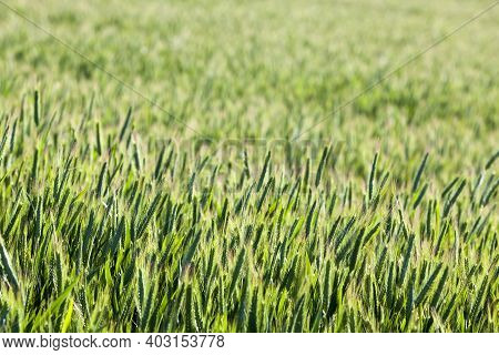 Agricultural Field Where Green Rye Grows, Agriculture For Obtaining Grain Crops, Rye Is Young And Gr