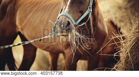 Red Mare With A White Groove On His Forehead In A Halter Eating Hay. Muzzle Sports Red Horse In A Ha