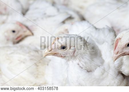 Chicks Of White Broiler Chicken At A Poultry Farm, Raised To Generate Revenue From The Sale Of Quali