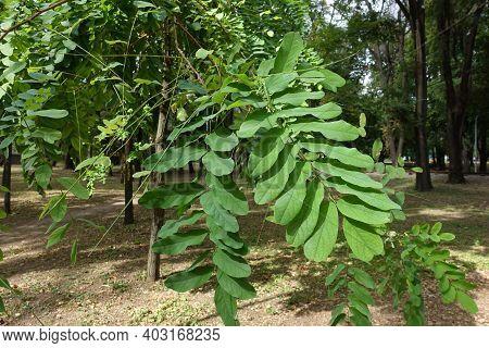 Fresh Green Leaves Of Black Locust Tree
