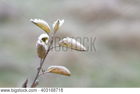 First Ice On Latest Leaves, Frosty Morning With Hoar On Tree. Breath Of Winter Concept