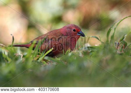 The Red-billed Firefinch Or Senegal Firefinch (lagonosticta Senegala) Sitting In Green Grass.little