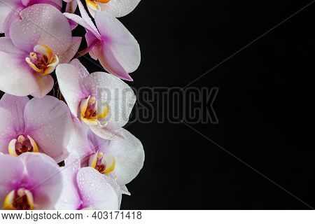 Beautiful Tropical Orchid Flowers.purple Orchids Vanda In The Orchids Farm.isolated On A Black Backg