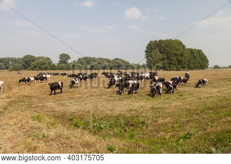 A Herd Of Cows In A Pasture. Walking Cows In The Village