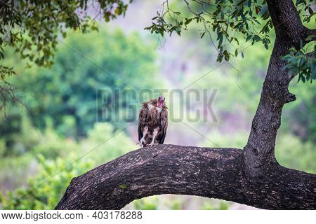 Hooded vulture, Necrosyrtes monachus, perched on a tree limb. Kruger National Park, South Africa.
