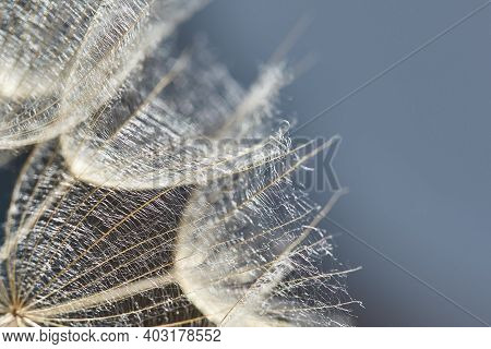 Tragopogon Pratensis. Beautiful Abstract Macro Photo Of A Big Dandelion Seed. Closeup Of Seeds With