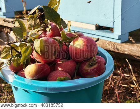 Lots Of Fresh Raw Apples. Blue Bucket With Red Apples Freshly Picked In Garden Stands Against Backgr