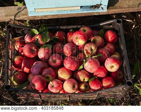 Lots Of Fresh Raw Apples. Basket With Red Apples Freshly Picked In Garden Stands Against Background