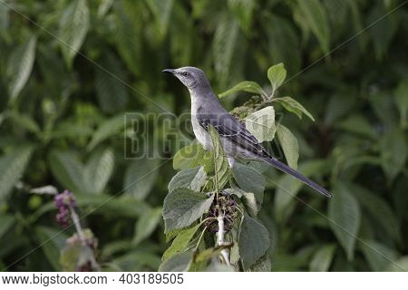 Gray Kingbird Or Grey Kingbird, Also Known As Pitirre, Petchary, Or White-breasted Kingbird Is A Pas