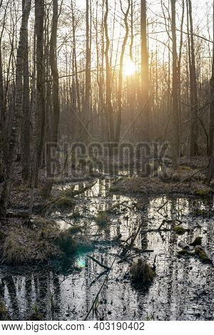 Sunset In The Forest In A Swamp (marsh) In Early Spring, Rotten Fallen Leaves, Bare Trees Without Le