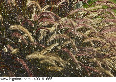 Purple Fountain Grass (cenchrus Setaceus 'rubrum'). Calles Red Fountain Grass And Tender Fountain Gr