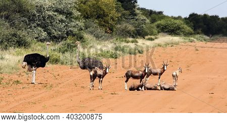 Wild Antelopes And Ostriches Rest On The Edge Of The Airfield Runway. A Pair Of Ostriches And A Herd