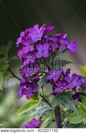 Close Up Of An Honesty (lunaria Annua) Flower In Bloom