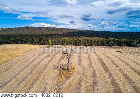 Bare Tree In The Middle Of Agricultural Field With Forest On The Background - Chute, Victoria, Austr