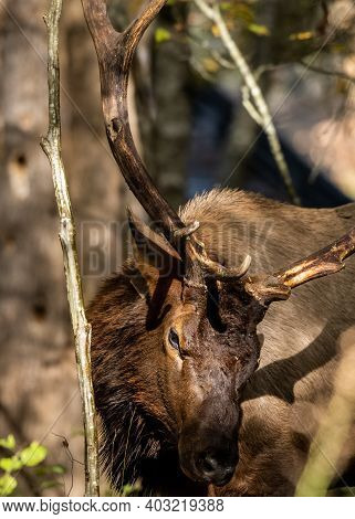Close Up Of Bull Elk Rubbing Antlers In Thick Forest In The Smokies
