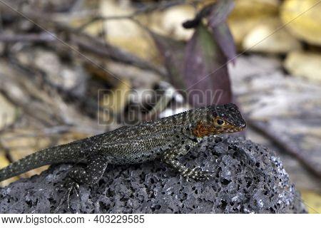 Lava Lizard With Red Head (microlophus Species) Galapagos Islands, Ecuador.