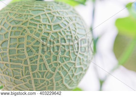 Closeup To Fresh Green Melon In Greenhouse