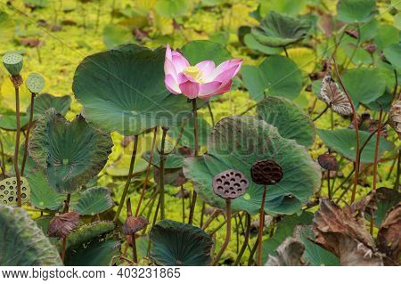 Nelumbo Nucifera Gaertn, Nelumbonacea. Blooming Lotus Flower Over Dark Background. Pink Lotus In The