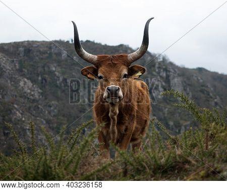 Closeup Headshot Portrait Of A Barrosao Bos Taurus Cattle Domestic Longhorn Bull Near Padrao Porta C