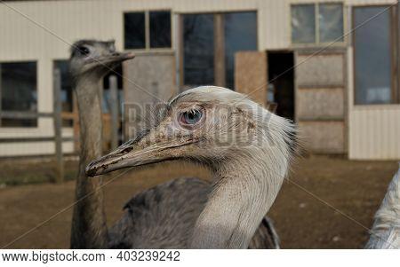 Bird Emu. Emu On The Farm. Emu's Funny Face
