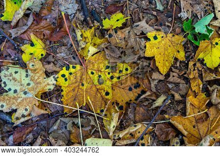Colourful Fall Leaves With Black Acid Burn Points Or Acid Burn Stains