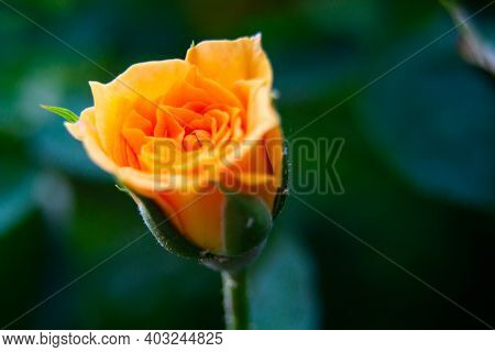 Closeup Shot Or Macro Of A Rich Orange Or Light Yellow Rose