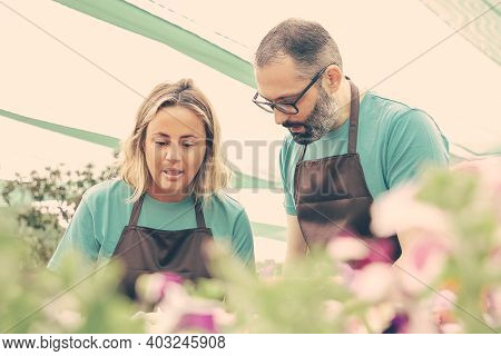 Two Focused Caucasian Florists Working In Greenhouse. Concentrated Female Gardener In Black Apron Ta