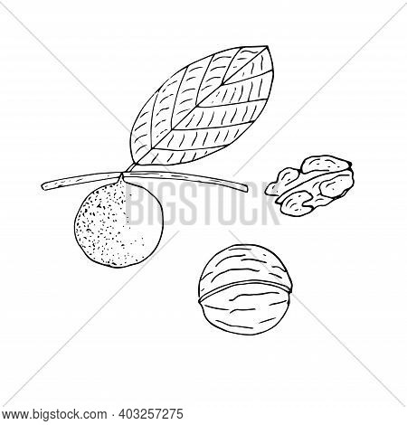 Set Of Walnut Peeled On A Branch In A Shell And Peeled Vector Illustration Sketch