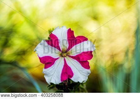 Petunia, White And Pink Petunia Flower Close-up On A Green Blurred Background On A Sunny Summer Day.