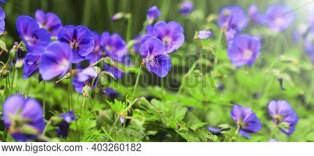 Wild Geranium. Spring Summer Flowers, Sunny Day, Sunray. Cultivation, Selection Of Flowers Geranium