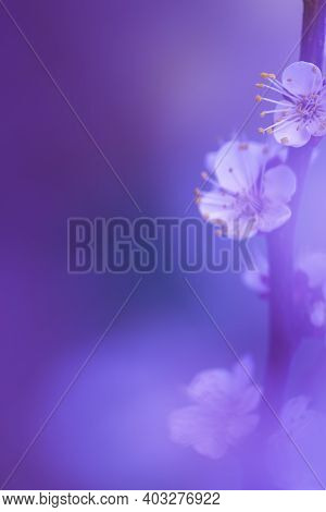 Blurred Floral Background. Misty Natural Background With A Lilac Accent. White Apricot Flowers In Sp