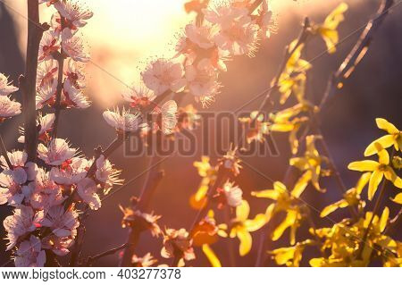 Natural Background. Dawn. White Apricot Flowers In Spring In Nature. Blooming Gold Forsythia Lynnwoo