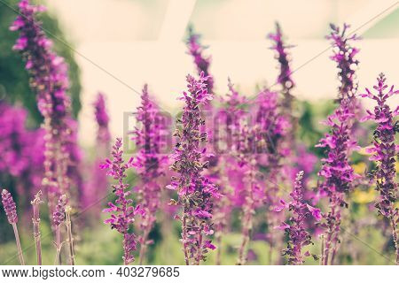 Beautiful Lavender Flowers Growing In Greenhouse. Pretty Violet Floral Plants In Conservatory Or Hot