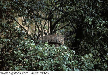 European Lynx, Felis Lynx, Adult Cammouflaged In Tree