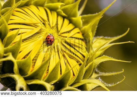 Selective Focus Of Ladybug On Sunflower. Close Up Of Sunflower Background. Warm Filter.yellow Summer