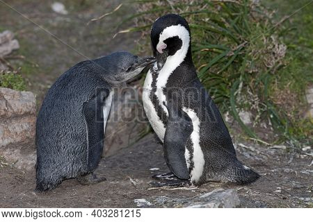 Jackass Penguin Or African Penguin, Spheniscus Demersus, Adult With Immature, Betty's Bay In South A