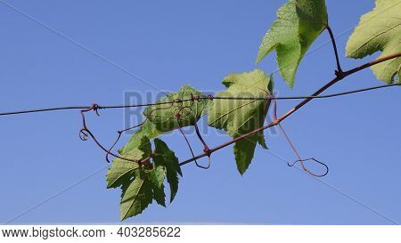 Grape Branch With Curly Tendrils Climbing By Wire Against Clear Blue Sky. Green Leaves Of Grapevine