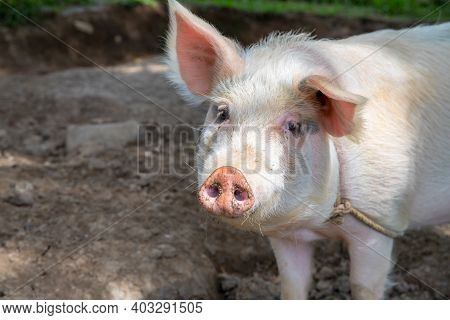 White Pig On Outdoor Pasture Of Farm. Ethical Animal Farming. Outdoor Pasture For A Piglet. Pink Pig