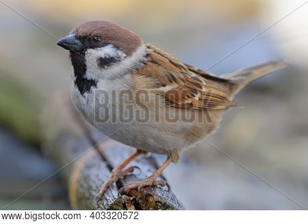 Eurasian Tree Sparrow (passer Montanus) Posing For A Very Close And Tight Portrait Shot