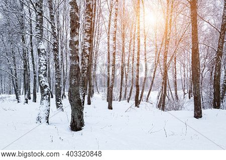 Sunbeams Shining Through Snow-covered Birch Branches In A Birch Grove After A Snowfall On A Winter D