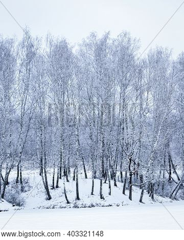 A Birch Grove After A Snowfall On A Winter Day Near A Frozen Lake. Birch Branches Are Covered With S
