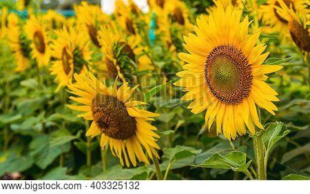 Flower Of Sunflower Blooming In The Garden. Background