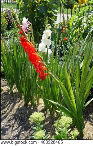 Scarlet Red, White, Pink And Violet Flowers Of Gladiolus In Mid August