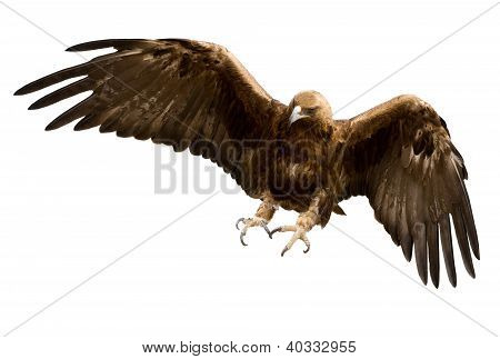 A Golden Eagle, Isolated