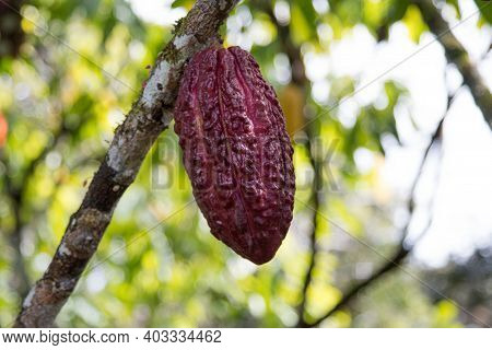 A Cocoa Tree With Cocoa Pods At Cocoa Plantation. Ilhéus, Southern Bahia, Brazil.