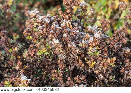 A Wilted Shrubby Cinquefoil Or Tundra Rose Bush Covered With Ice On A Cold Morning In Winter