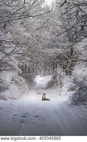 Animal Fox Sits On A Country, Rural Road In The Forest.
